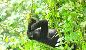 6 Days - Gorilla Adventure Safari 3