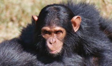 1Day, Ngamba Island Chimpanzee Trip 7